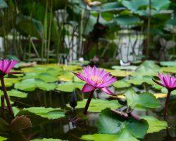 pink lotus on water von freepik